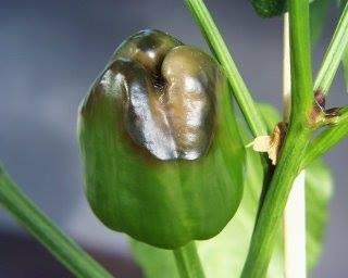 bitkilerde kalsiyum
