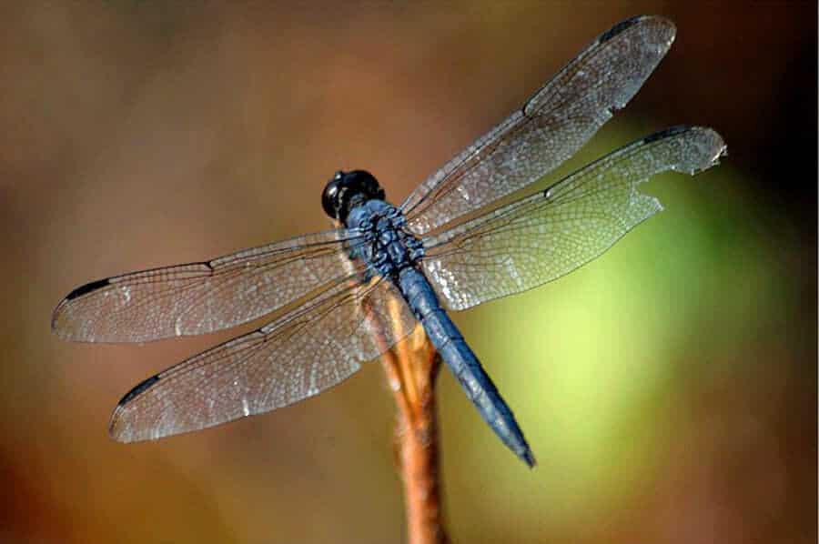 yusufçuk böceği kanadı