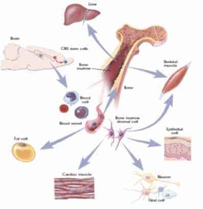 erişkin kök hücre