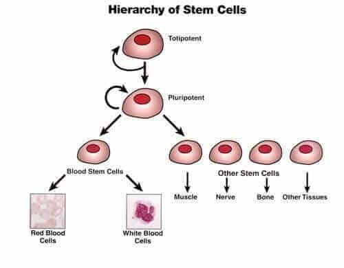 kök hücre nedir