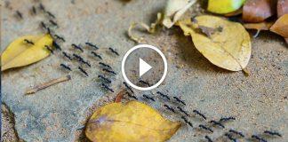 Karıncalar Trafikte Neden Sıkışmazlar