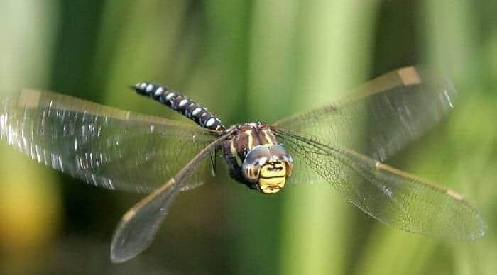 yusufçuk böceği gözleri