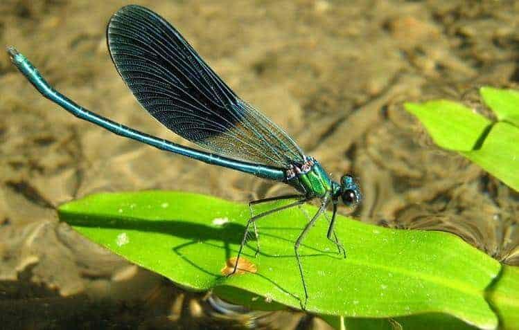 yusufçuk böceği