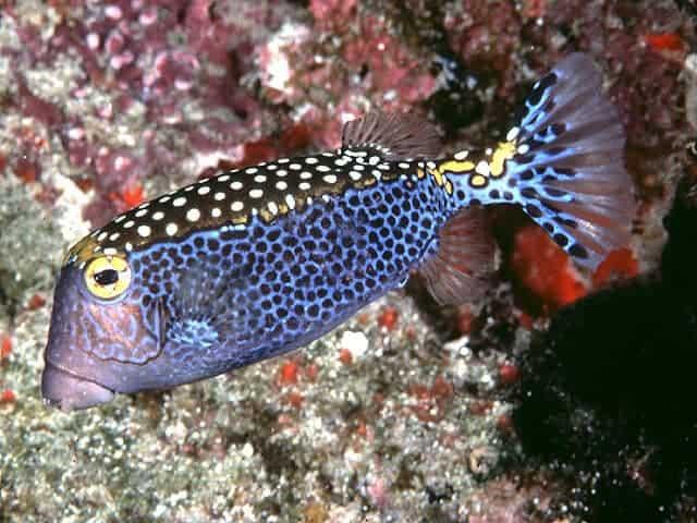 doğanın mucitleri sandık balığı