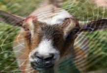 keçi sütünden örümcek lifi üretmek