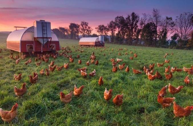 organik-tavuk-ciftligi