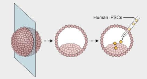 Blastulanın İnsan Kök Hücresine Enjekte Edilmesi