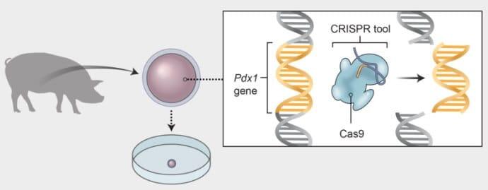 Döllenmiş Yumurtanın Genetiğinin Değiştirilmesi