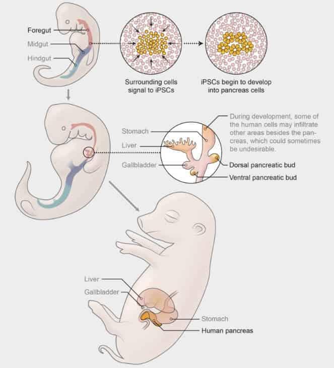 Embriyonun gelişmesi