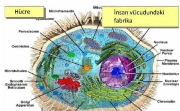 hücre