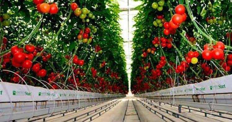 domates neden pahalı