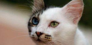 Van Kedisi Hakkında Bilgi
