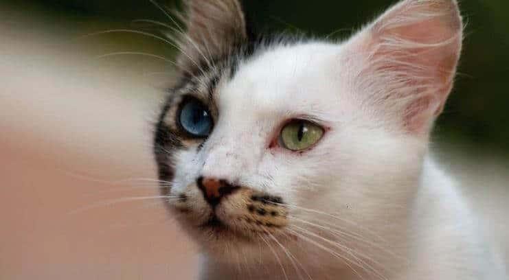 4caa5d6ce6 Van Kedisi Hakkında Bilgi - Mühendis Beyinler