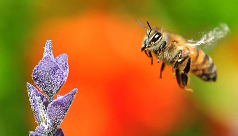 italyan bal arısı