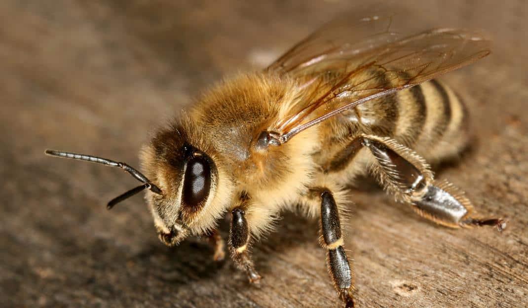 Karniol bal arısı